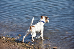 Small brave dog breed jack russel terrier. A brave little dog proudly enters the river Stock Photos