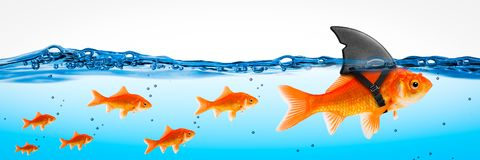 Small Brave Goldfish Leader. Small Brave Goldfish With Shark Fin Costume Leading Others Through Stormy Seas - Leadership Concept stock images