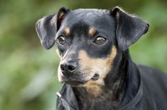 Miniature Pinscher Manchester Terrier mixed breed dog adoption photo. Small breed black and tan Pinscher or Manchester Terrier mixed breed dog outdoors on picnic Royalty Free Stock Photography