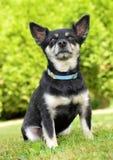 Small breed dog Chihuahua Stock Photo