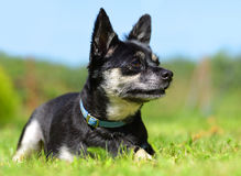 Small breed dog Chihuahua Stock Images