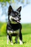 Small breed dog Chihuahua Stock Photography