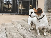 A small breed dog jack russell terrier on an old European street royalty free stock images