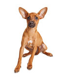 Small Breed Dog Sitting Over White Looking Royalty Free Stock Photography