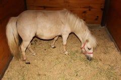 Small breed horse at Amish village Barn stock image