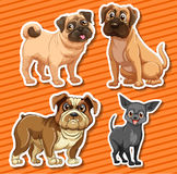 Small breeds dogs on orange background Royalty Free Stock Photos