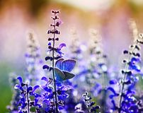 Small bright blue butterfly of a pigeon sits on purple flowers on a Sunny summer day in a rural meadow. Small bright blue butterfly of a pigeon sits on purple stock photos