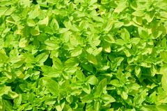 Small bright green leaves Stock Photography