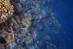 Small bright red fishes over coral reef Stock Image