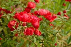 Small bright red romantic roses. Royalty Free Stock Image