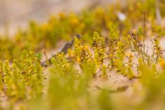 A small, bright seaside plants growing in the sand. Beach scenery with local flora. A beautiful, colorful close up of a seaside plants Royalty Free Stock Photo