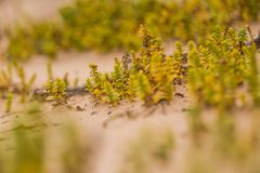 A small, bright seaside plants growing in the sand. Beach scenery with local flora. A beautiful, colorful close up of a seaside plants Stock Photography
