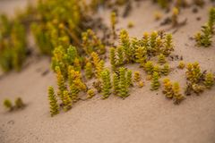 A small, bright seaside plants growing in the sand. Beach scenery with local flora. A beautiful, colorful close up of a seaside plants Royalty Free Stock Photography