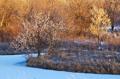 Small Bright Trees in Early Sunlight in Winter Stock Photography