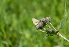 A small bright white and yellow butterfly pollinates purple wooly burdock flowers in the garden in summer on a green background. A small bright white and yellow stock image