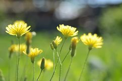 The small  bright yellow flowers in sunlight Stock Photo