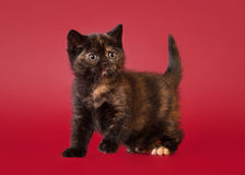 British cat on dark red background Stock Images