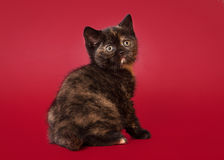 British cat on dark red background Royalty Free Stock Images