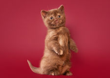 British cat on dark red background Stock Photo