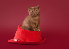 British cat on dark red background Stock Image