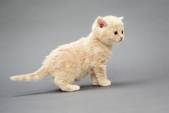 Small British kitten beige Stock Images