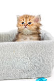 Small British kitten in a knitted box Stock Photos