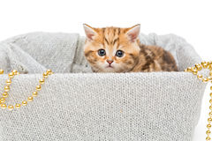 Small British kitten in a knitted box Stock Photography