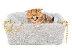 Small British kitten in a knitted box Royalty Free Stock Image