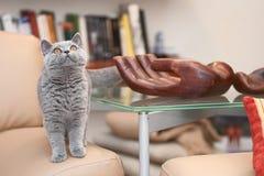 Small British kitten looks plaintively. Wants to eat Stock Photos