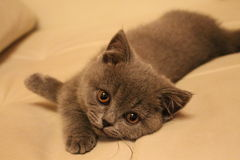Small british kitten. Rests on the sofa Stock Image