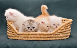 Small British kittens in a basket. On a dark background Royalty Free Stock Images