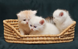 Small British kittens in a basket Royalty Free Stock Photos