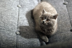 Small British Shorthair Royalty Free Stock Image