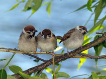 Small brood. Of sparrow hidden on a branch stock image