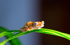 Small brow frog Stock Photos