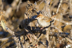 A small browm cisticola sit on dry branches Royalty Free Stock Images