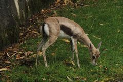 Small African antelope feeding at the zoo. A small brown African antelope is feeding at the zoo Stock Image