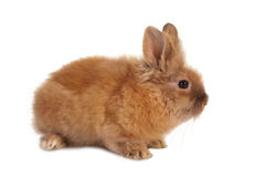 Small brown rabbit Royalty Free Stock Photos