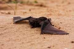 Small brown bat. On a sandy beach royalty free stock images