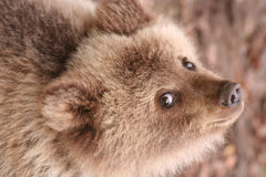 Small brown bear. Eyes, a sight of a small brown bear upwards Stock Photos