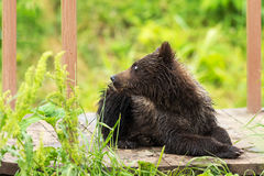 Small brown bear on bridge fence to account for fish. Kurile Lake. Stock Images