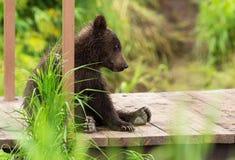 Small brown bear on bridge fence to account for fish. Kurile Lake. Stock Photo