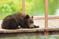 Small brown bear on bridge fence to account for fish. Kurile Lake. Royalty Free Stock Photography