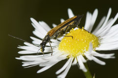 Small brown beelte on daisy Stock Photos