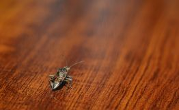 Small brown beetle on hardwood floors Royalty Free Stock Image