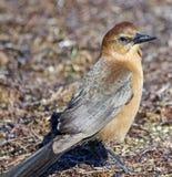 Small brown bird. At the Dunedin causeway royalty free stock photos