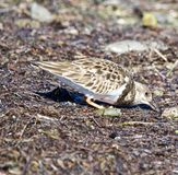 Small brown bird. Foraging at the Dunedin causeway royalty free stock photo