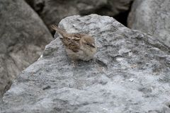 Small brown bird on a grey stone Royalty Free Stock Photo