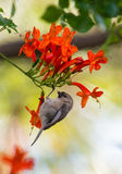 Small brown bird sitting on a branch. Bird on a branch, orang flowers Royalty Free Stock Photo