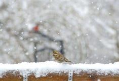 Small brown bird in the snow. Stock Photos